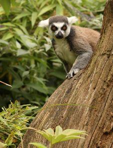 Free Ring Tailed Lemur Stock Photo - 20604920