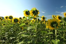 Free Sunflowers Stock Photography - 20605182
