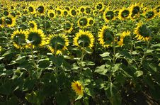 Free Field Of Sunflowers Royalty Free Stock Photo - 20605205
