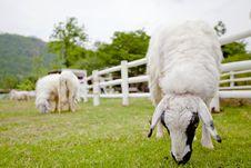 Free Sheep On The Farm. Royalty Free Stock Photos - 20605208