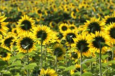 Free Sunflowers From Behind Royalty Free Stock Photography - 20605257