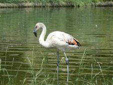 Free Chilean Flamingo Stock Images - 20605904