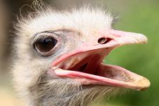Free Ostrich Stock Images - 20606214