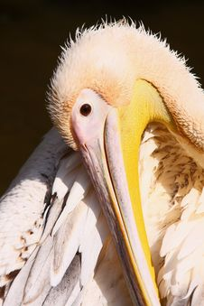 Free Pelican Stock Photography - 20606222