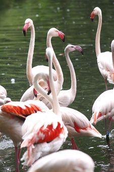 Free Flamingos Royalty Free Stock Photo - 20606225
