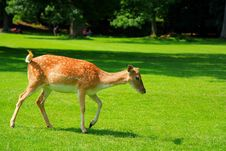 Free Female Fallow Deer Royalty Free Stock Image - 20607356