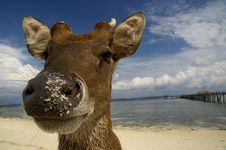 Free Deer At The Beach Royalty Free Stock Photography - 20608547