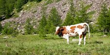 Free Cows And Italian Alps Royalty Free Stock Images - 20608719
