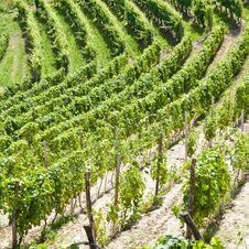 Free Italy - Piedmont Region. Barbera Vineyard Royalty Free Stock Photos - 20608788