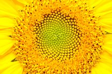 Sunflower Close-Up Stock Photography
