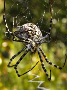 Spider Argiope Lobata In Center Of Spiderweb Stock Photography