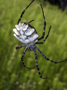 Argiope Lobata Spider On Green Background Stock Image