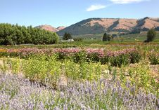 Free Hood River Oregon Garden And Hills. Stock Photography - 20609212