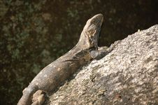Free Iguana Royalty Free Stock Images - 20609539