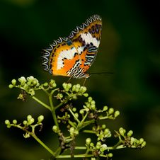 Leopard Lacewing Butterfly Royalty Free Stock Images