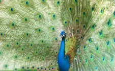 Free Peacock Royalty Free Stock Photography - 20610337