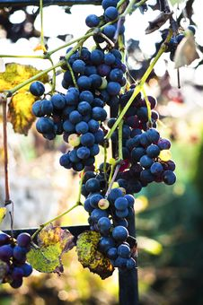 Free Blue Grape On Blurry Background Stock Photos - 20610593
