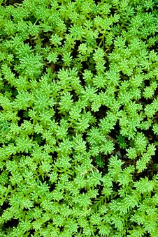 Free Sedum, Moss Shoots Close-up Royalty Free Stock Photography - 20610917