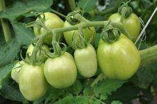 Free Tomatoes Green Stock Photography - 20613352