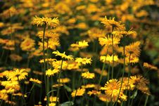 Free Yellow Flowers Stock Photo - 20613550