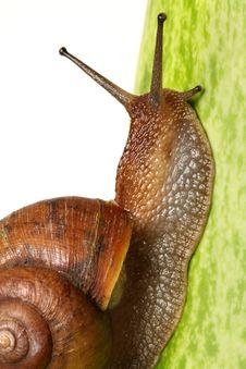 Free Garden Snail Stock Photo - 20613930