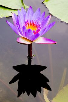 Free Purple Water Lily Royalty Free Stock Photos - 20614088