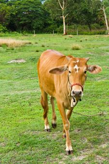 Free Cow In The Field Royalty Free Stock Image - 20615186