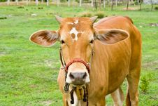 Free Cow In The Field Stock Photo - 20615190