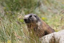 Free Alpine Marmot Royalty Free Stock Photography - 20615367