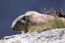 Free Marmot Royalty Free Stock Photo - 20615385