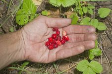 Free Wild Strawberry On A Hand. Royalty Free Stock Photos - 20615398