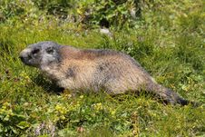 Free Alpine Marmot Royalty Free Stock Photography - 20615417