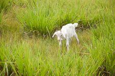 Free Baby Goat Royalty Free Stock Photos - 20615468
