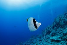Free Butterflyfish Stock Images - 20615524