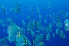 Free School Of Batfish Royalty Free Stock Photos - 20615598