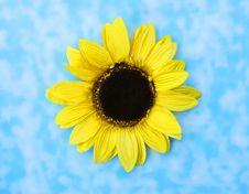 Beautiful Big Sunflower Stock Images