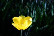 Free Yellow Tulip Royalty Free Stock Photography - 20615887