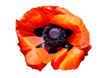 Free Red Poppy Stock Images - 20616044