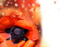 Free Red Poppy Royalty Free Stock Image - 20616046