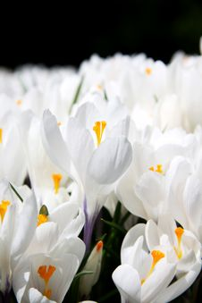 Free White Crocus Royalty Free Stock Images - 20616049