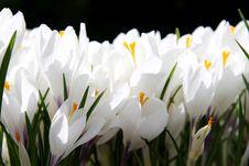 Free White Crocus Stock Image - 20616051