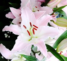 Free Lily Stock Images - 20616074