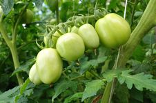 Free Tomatoes Green Royalty Free Stock Image - 20616126