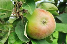 Free Apple Growing Royalty Free Stock Photography - 20616337