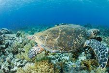 Free Hawksbill Turtle Stock Photos - 20616343
