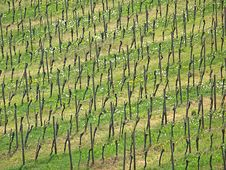 Free Rhine Vineyards Royalty Free Stock Photography - 20617517