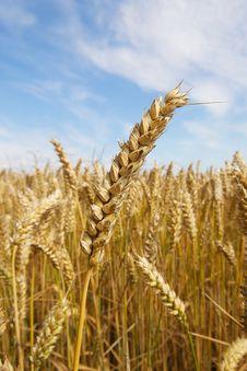 Free Grain Straw Royalty Free Stock Photos - 20617588