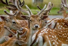 Deer Looking Out From The Herd Royalty Free Stock Photography