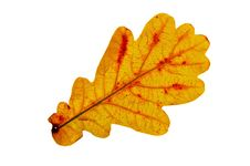 Free Oak Leaf Stock Photography - 20618102