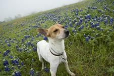 Jack Russell Mix And Bluebonnets Stock Image